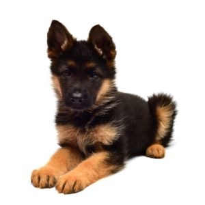German Shepherd puppy is waiting for food