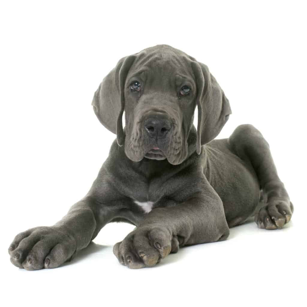 Best Dog Food For Great Danes And Puppies In 2019