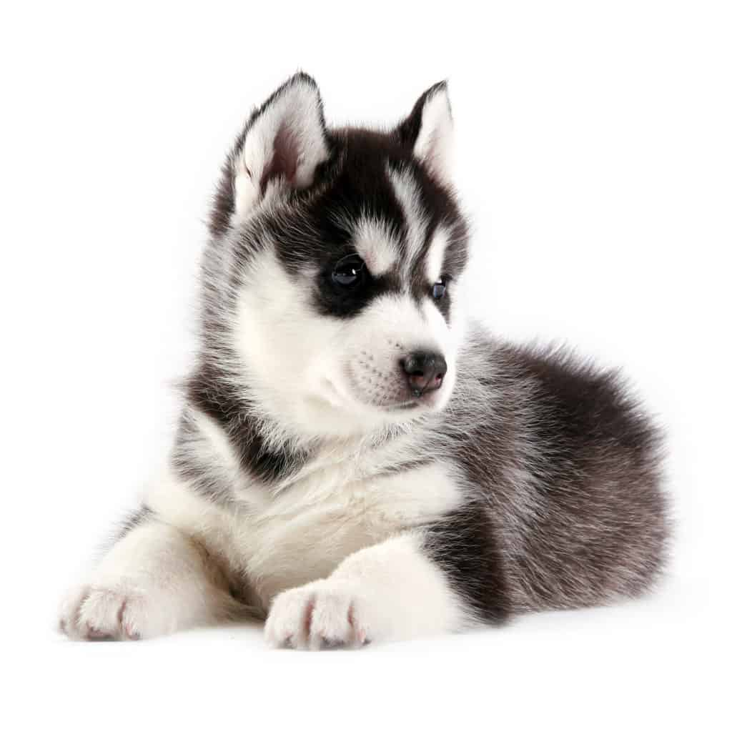 Eukanuba Puppy Food >> Best dog food for huskies and puppies to 2018 🦴 GoodPuppyFood