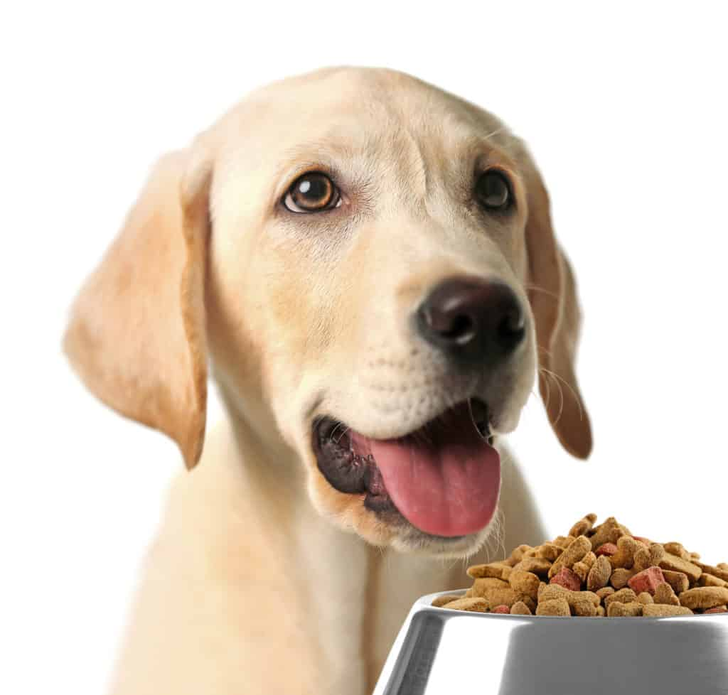 Labrador eat dry food