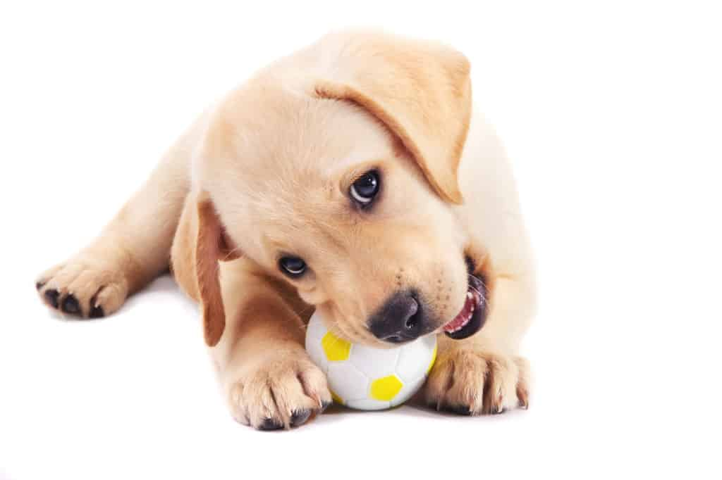 Labrador puppy with ball