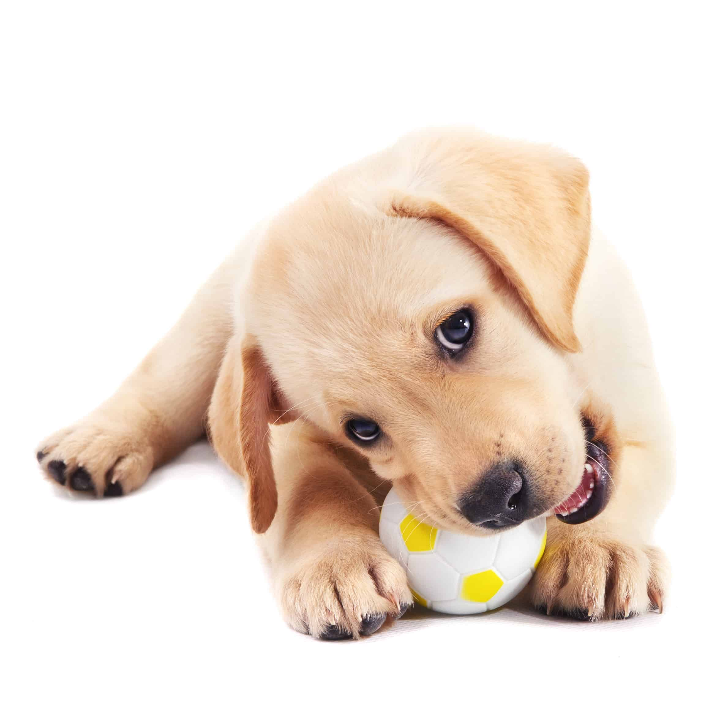 Best Puppy Food For Labs In 2020 Goodpuppyfood