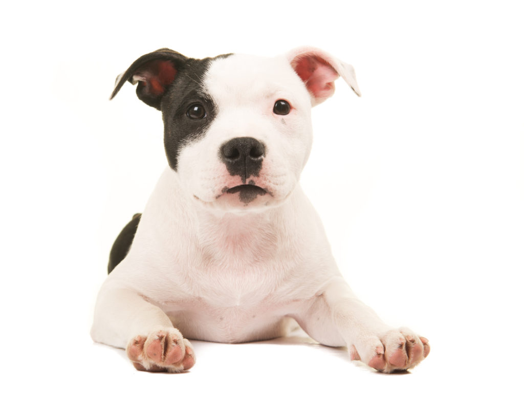 🦴 Best food for Pit Bull puppy in 2019 🦴 GoodPuppyFood