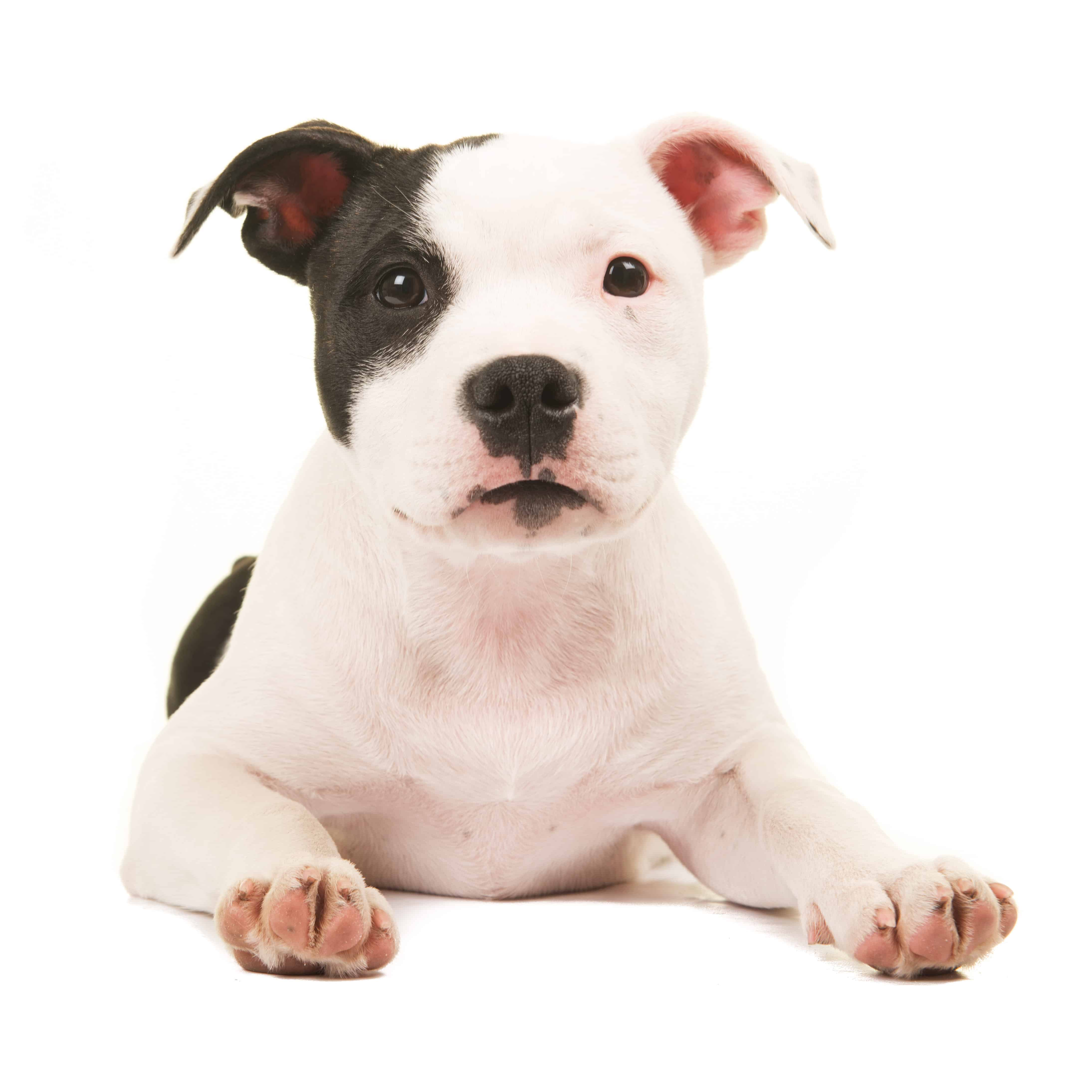Best Food For Pit Bull Puppy For 2019 Goodpuppyfood