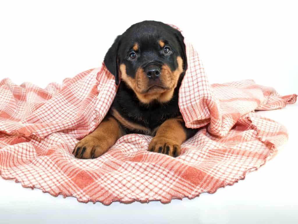 pretty Rottweiler puppy