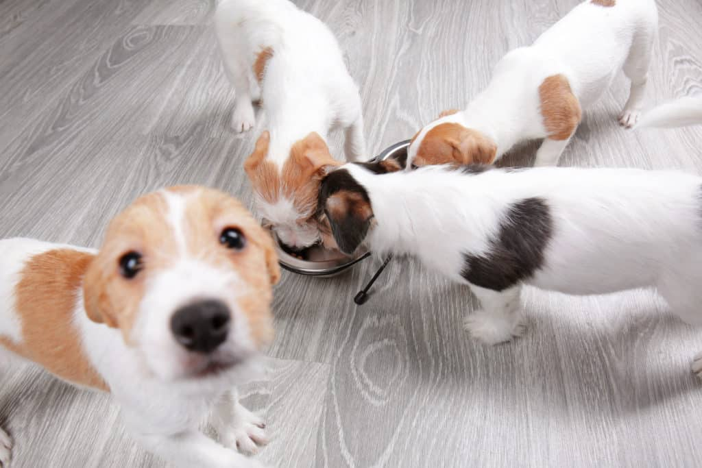 puppies eating dry food