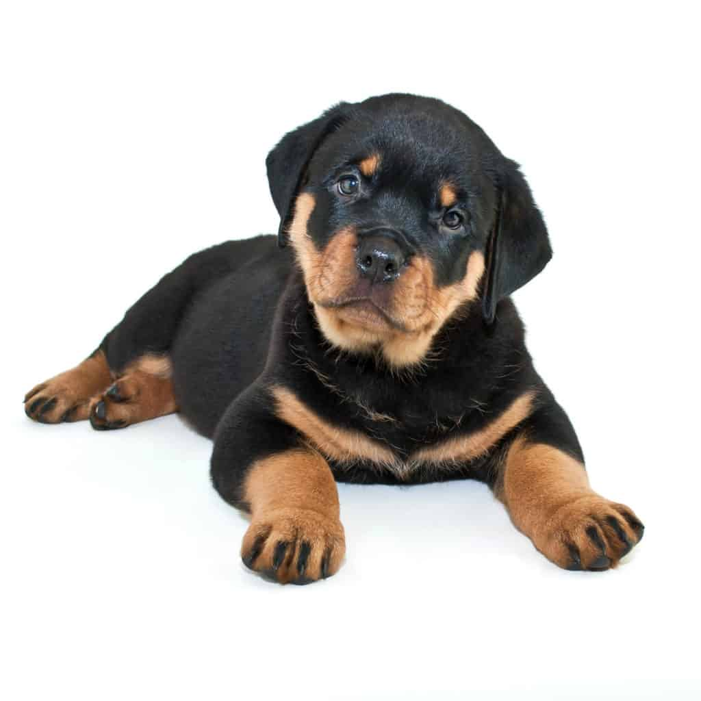 Rottweiler: How to Raise a Puppy