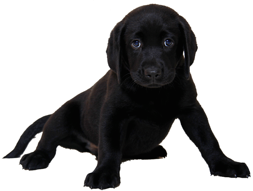 small black lab puppy