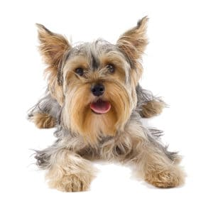 yorkshire terrier puppy want to eat food