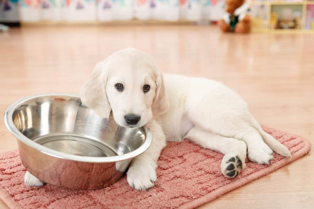 Best Food For Golden Retrievers puppy