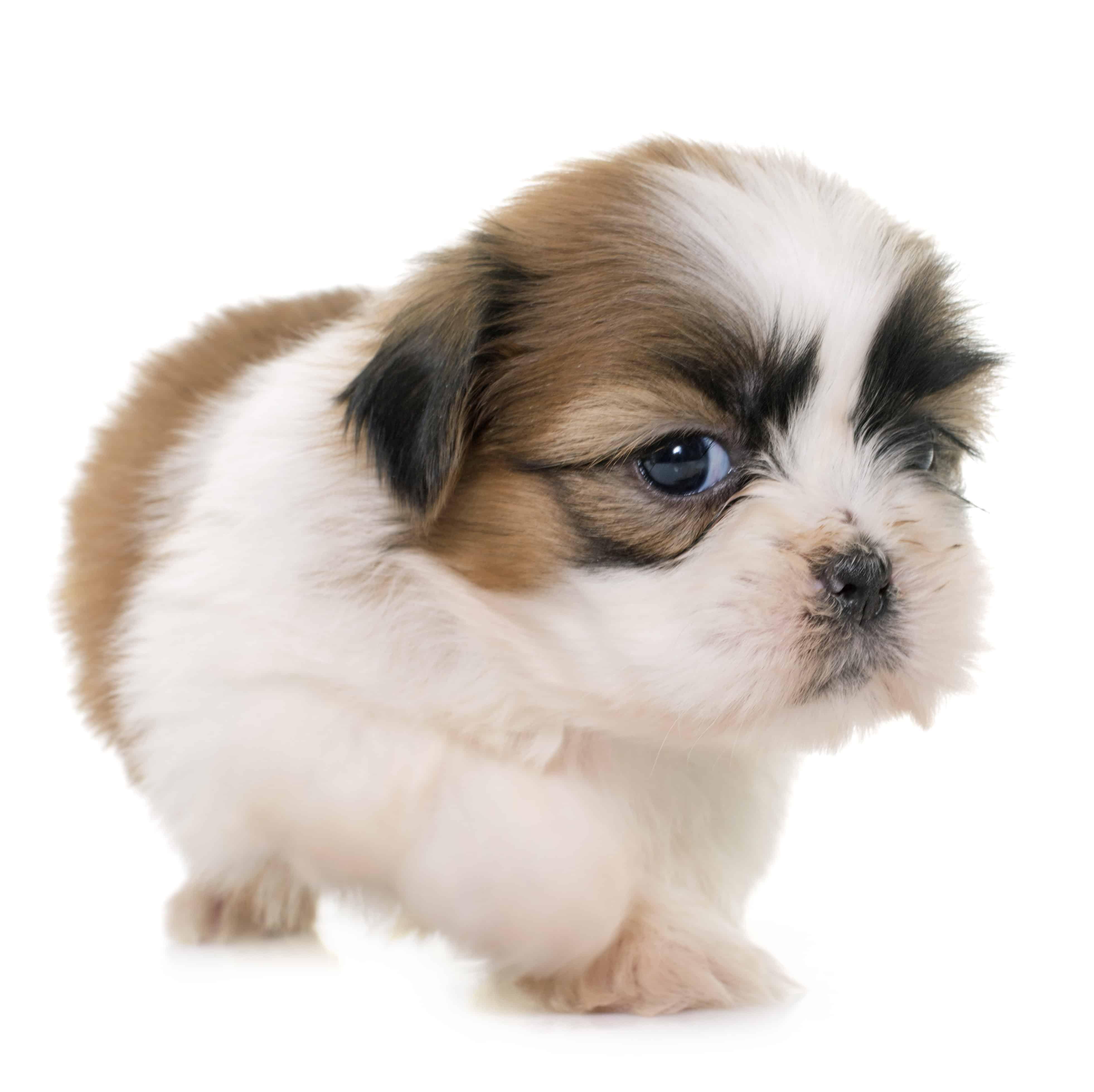 Best Dog Puppy Food For Shih Tzu In