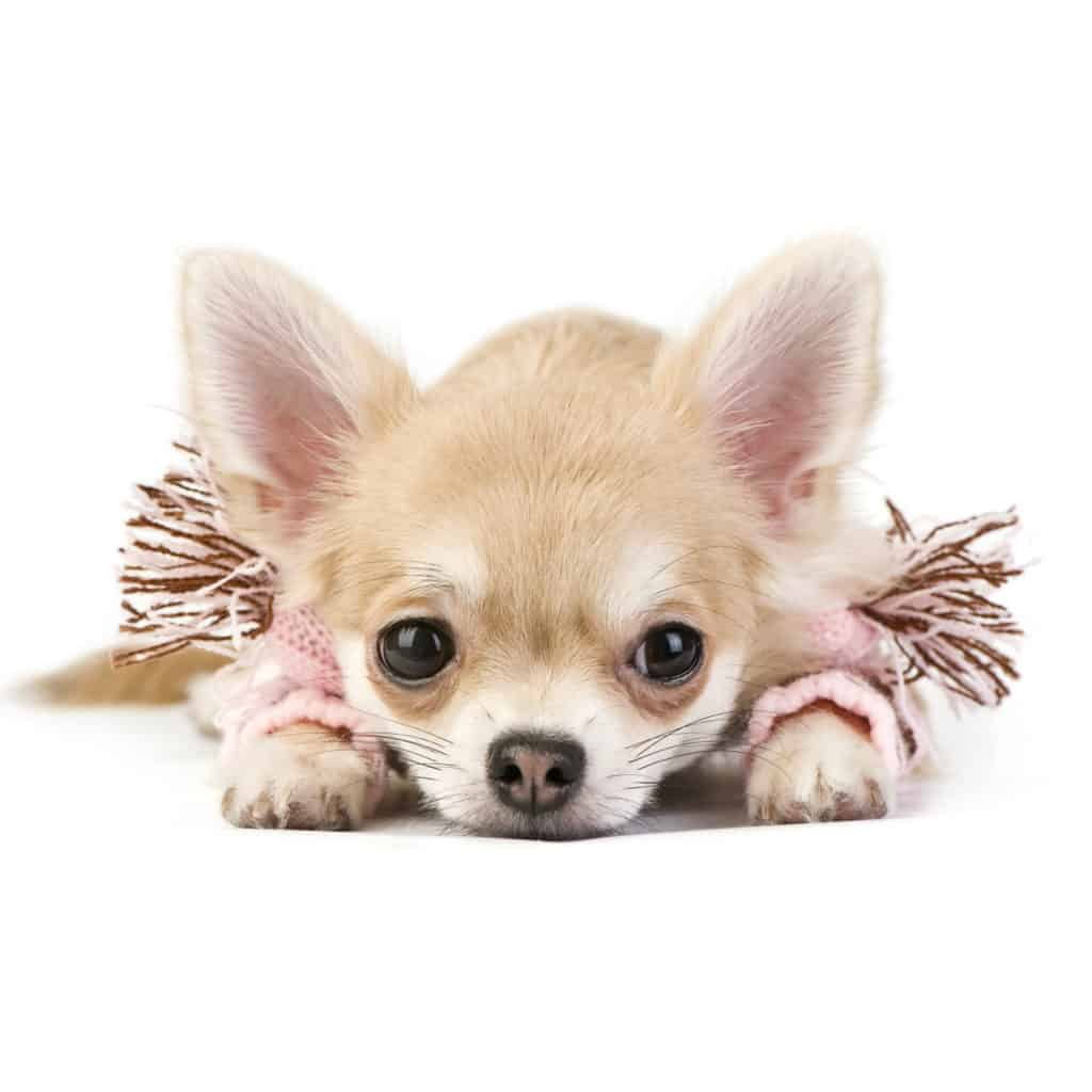 🦴 Best Food for Chihuahua Puppies in 2019 🦴 GoodPuppyFood