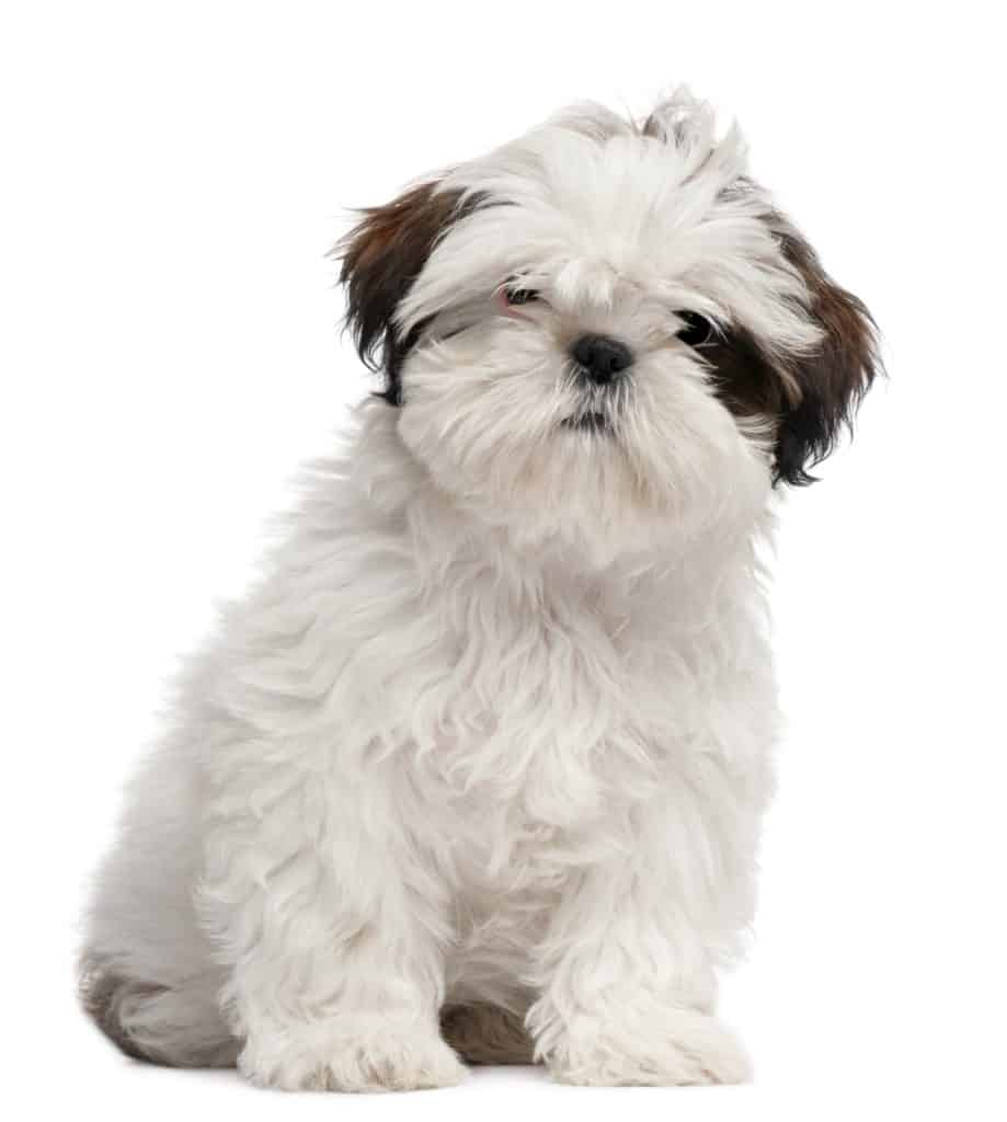 ShihTzu puppy food