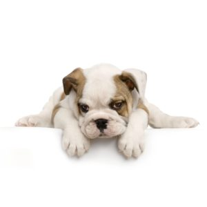 boxer puppy food