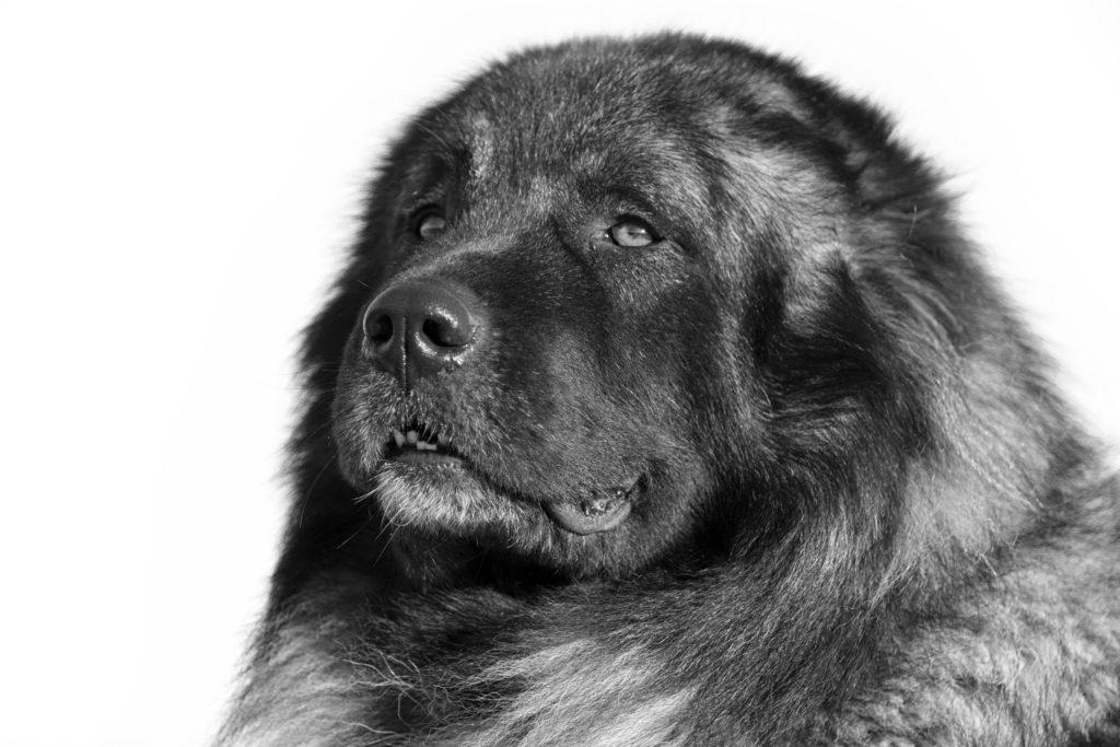 giant breed dog
