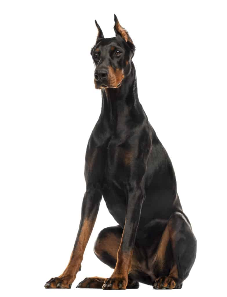 dog food for dobermans