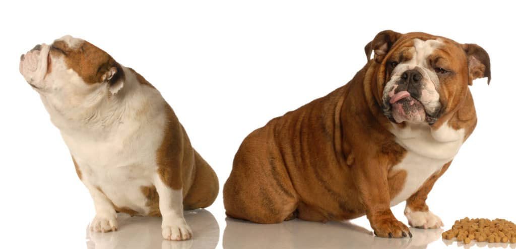 English bulldog dog food