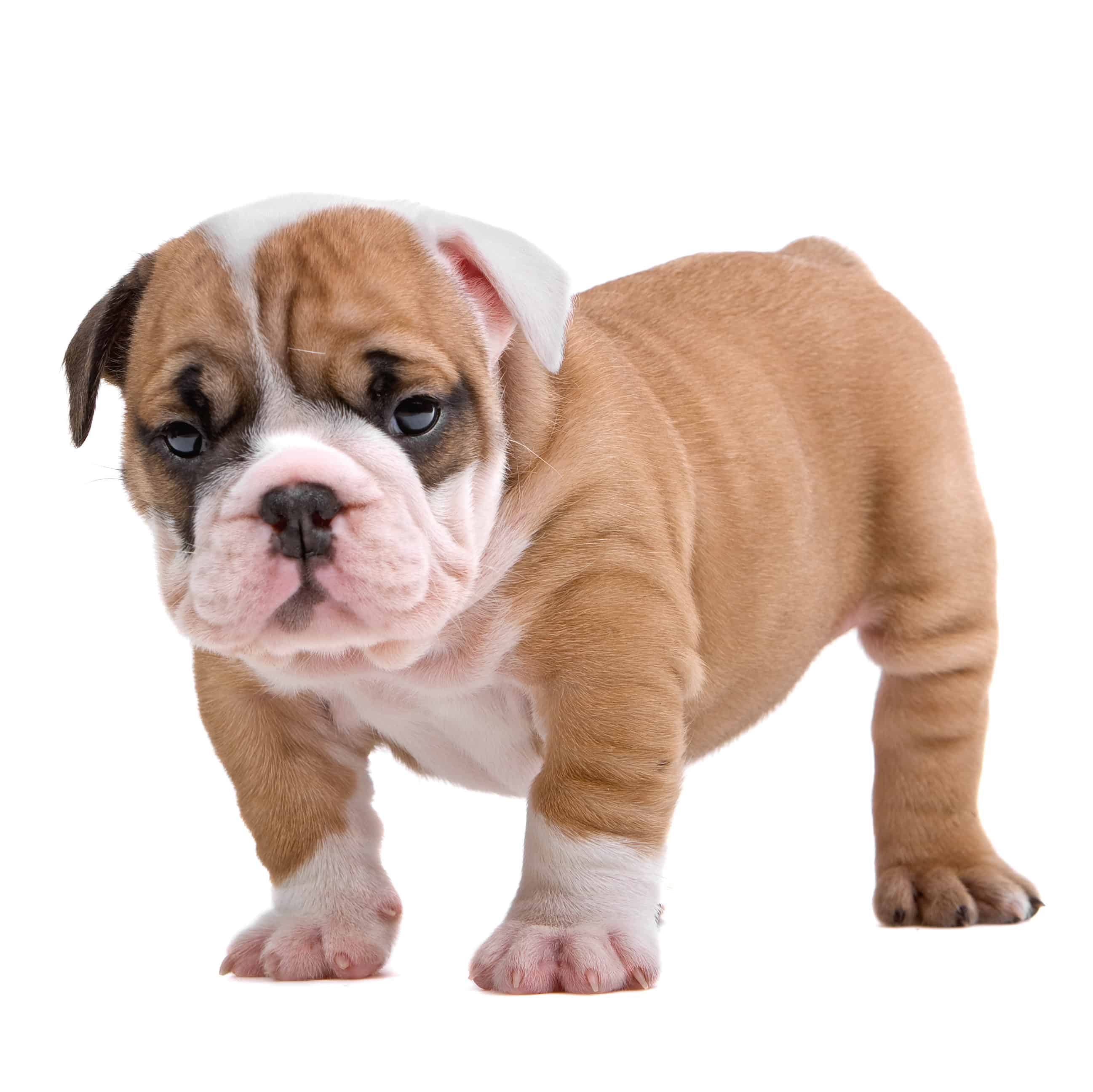 Best Food For English Bulldog Puppy In 2021 Goodpuppyfood