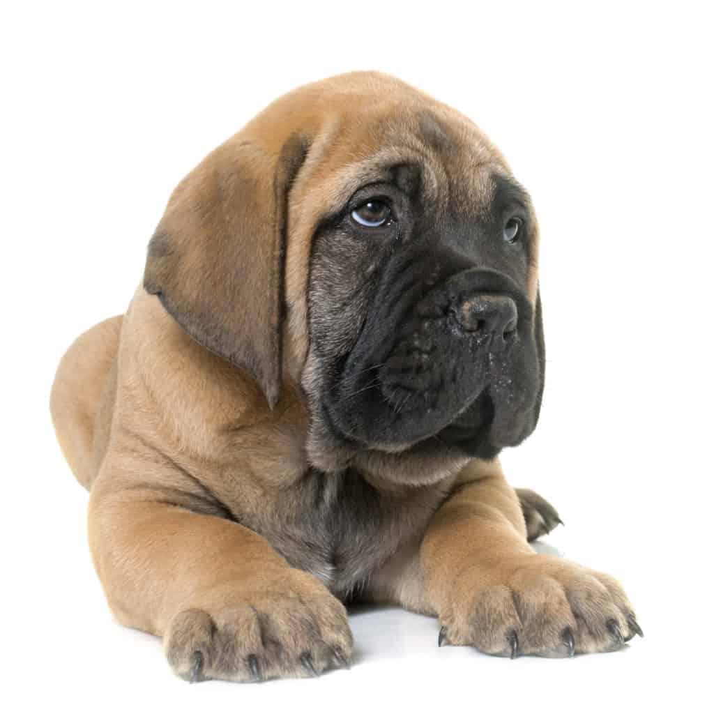 4health Puppy Food >> Best Dog Food for Mastiffs & Mastiff Puppy in 2019 ...
