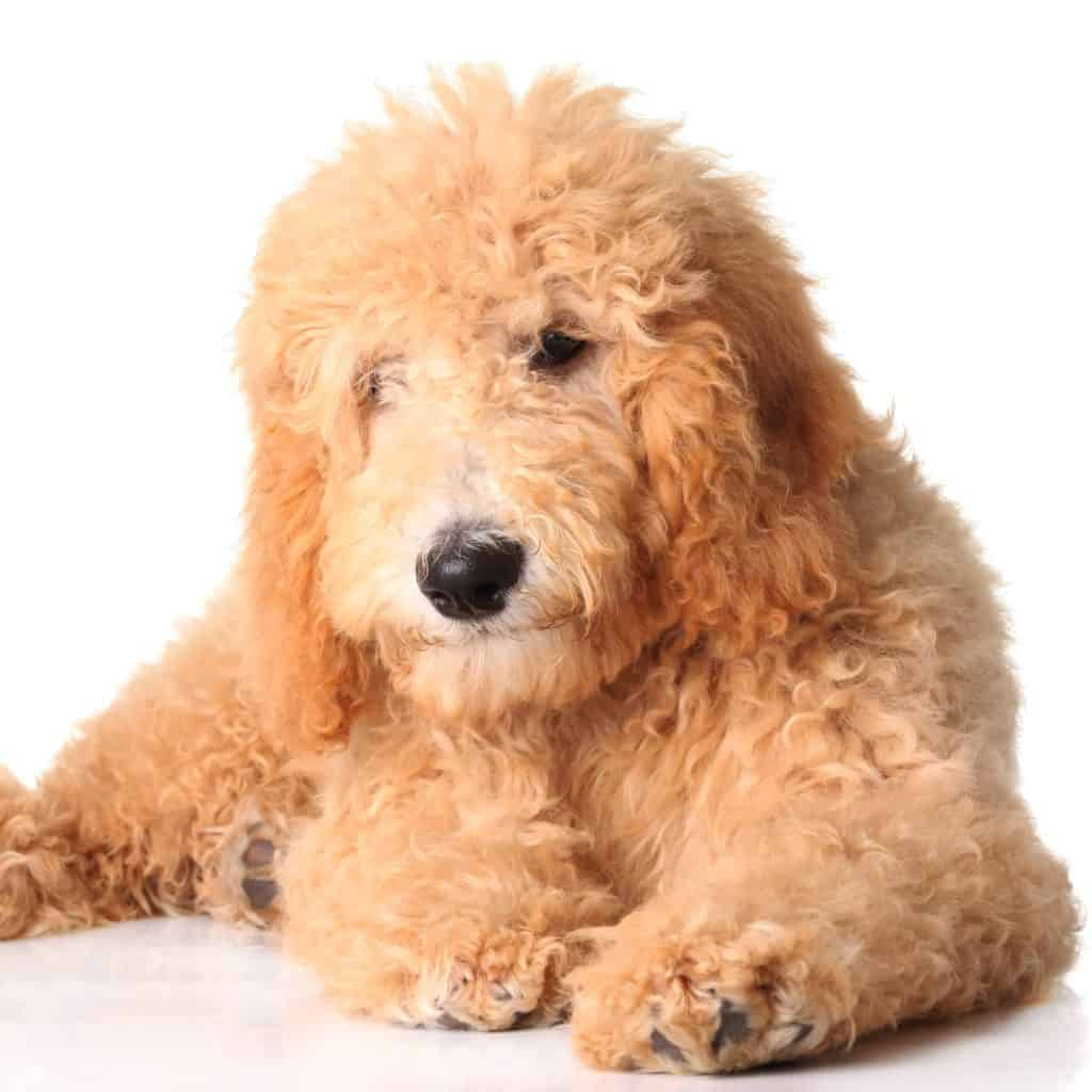 🦴 Best Puppy Food for Goldendoodle & Dogs in 2019