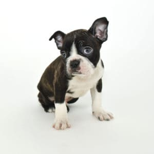 best food for boston terrier puppy