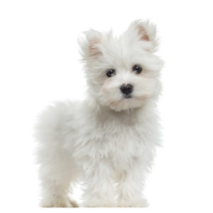 best food for maltese puppy