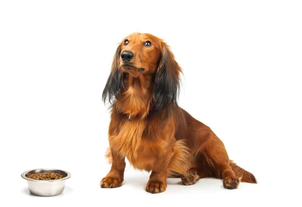 best food for dachshunds