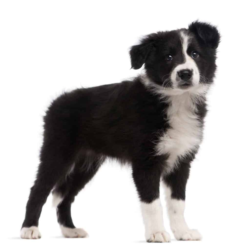 4health Puppy Food >> Best Dog Food for Border Collies & Puppy in 2019 ...