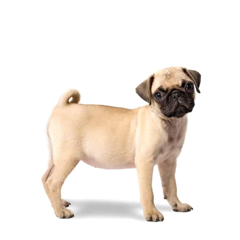 pug puppy food