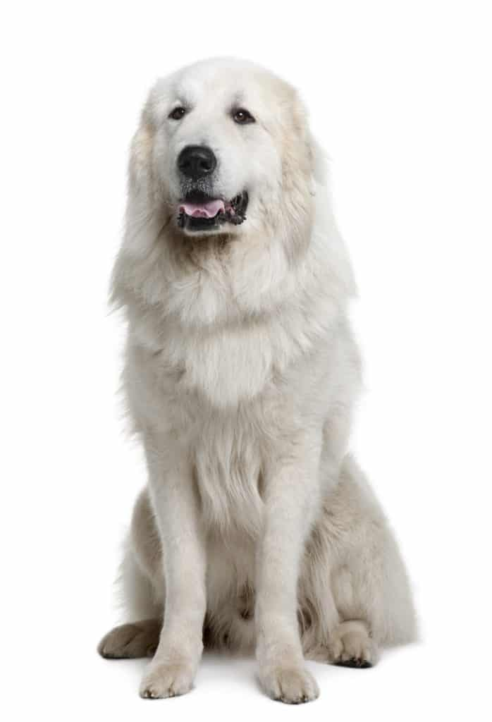 Best Dog Food For Great Pyrenees In
