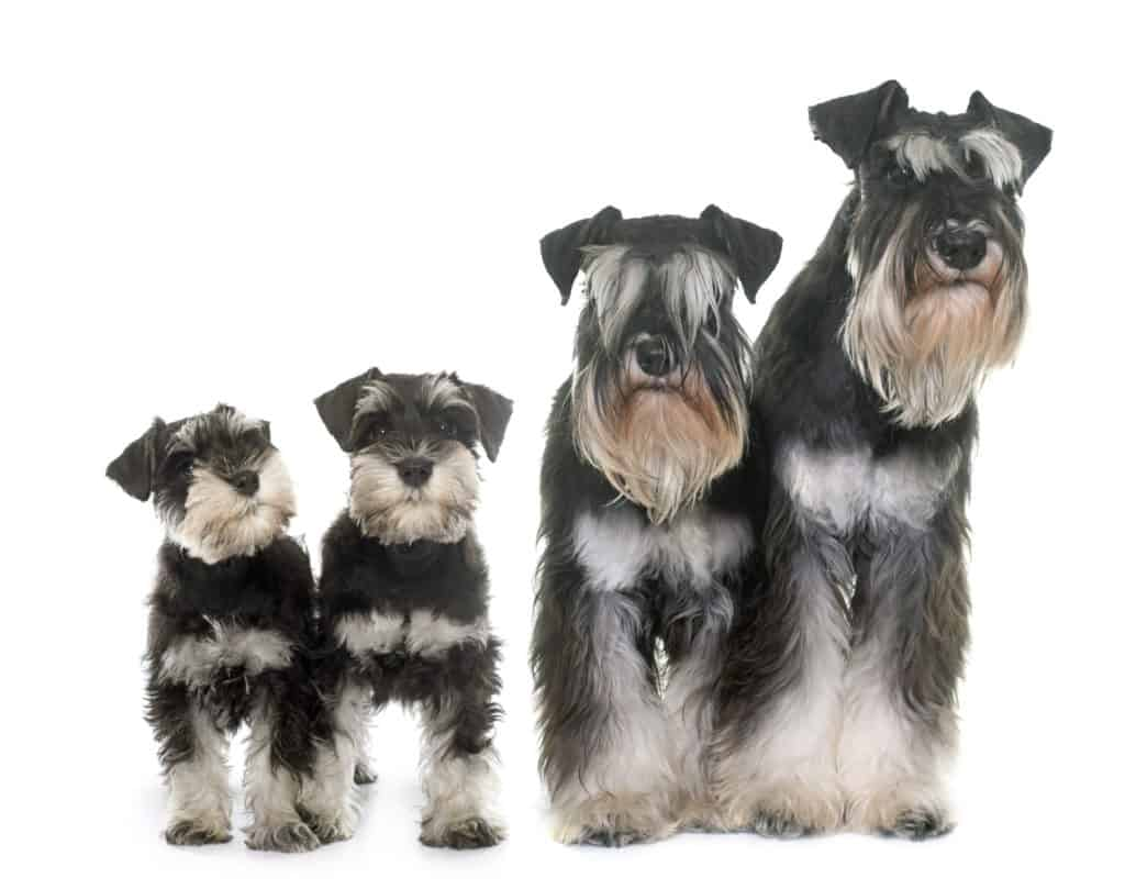 best dog food for miniature schnauzers