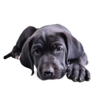 best food for cane corso puppy