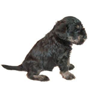 best food for miniature schnauzer puppy