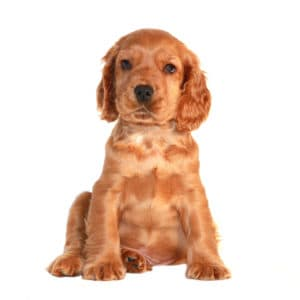 best food for cocker spaniel puppy
