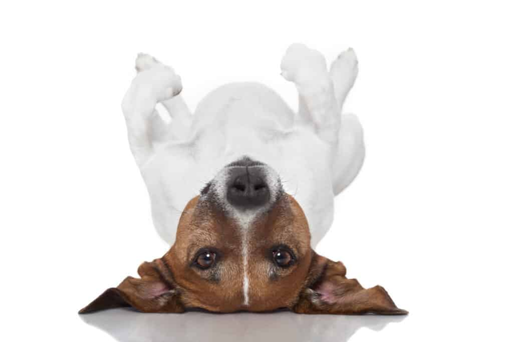 small gassy dog